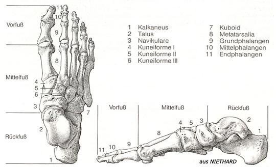 Schön Knöcherne Anatomie Fuß Fotos - Anatomie Von Menschlichen ...